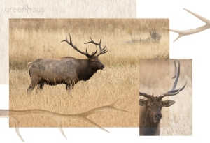 elk_antlers_1